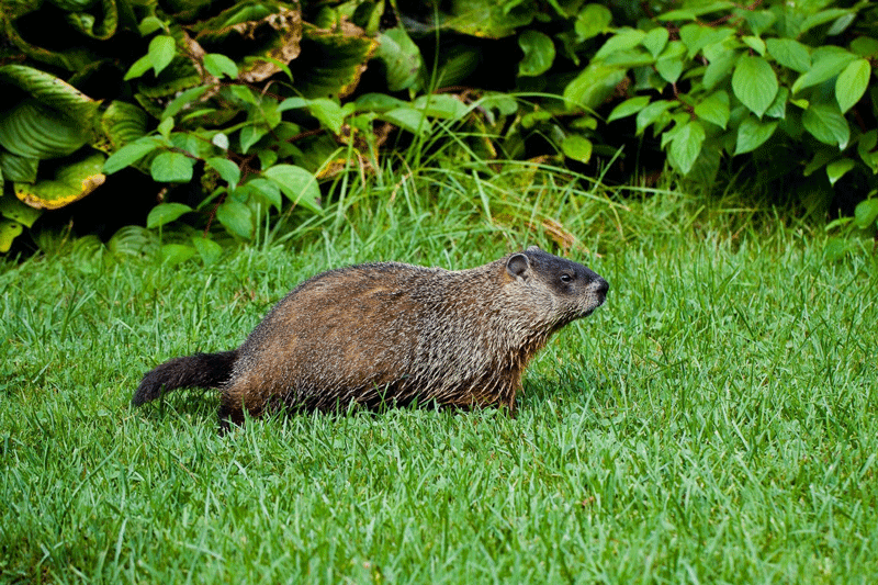 Best Groundhog Repellent Review 2020 - Consumer Reports